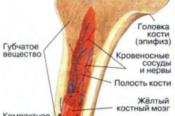 Строение трубчатой кости