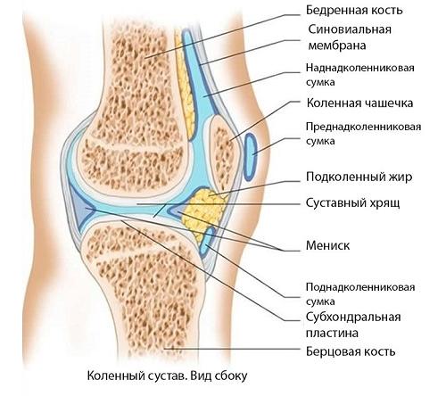 Коленный сустав соединяет