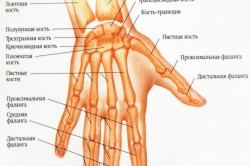 Анатомия костей кисти руки